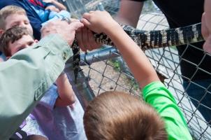 Petting an American Alligator