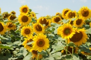 Sunflowers-5
