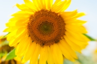 Sunflowers-9